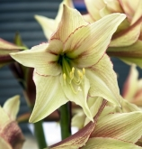 AMARYLLIS MAGIC GREEN - Cal. 34/36