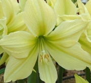 AMARYLLIS YELLOW STAR - Cal. 34/36