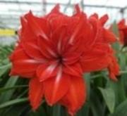 AMARYLLIS DOBLE CIRCUS ® - Cal. 34/36