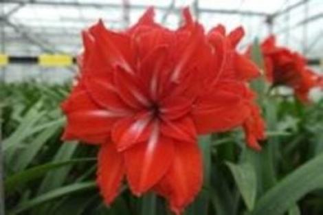 AMARYLLIS DOBLE CIRCUS ® - Cal. 26/28