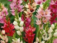Ixias, Polyanthus (Nardos), Iris Ensata y Lupinus