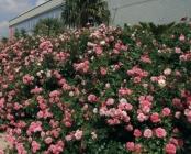 Rosales para Macizos de Porte Bajo Rastrero