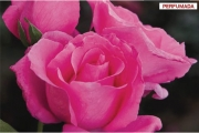 ROSAL THE MC CARTNEY ROSE ® - Meizeli