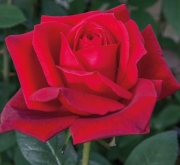 ROSAL JUBILÉ PAPA MEILLAND ® - Meiceazar