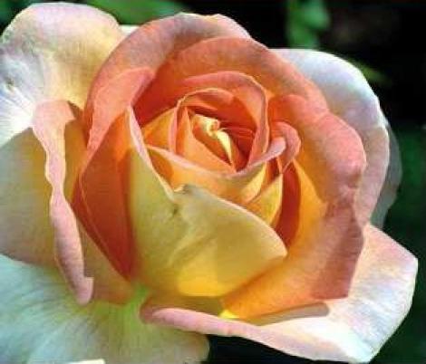 ROSAL ARLEQUIN ® - Meihyago