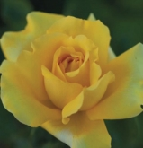 ROSAL GINA LOLLOBRIGIDA ® - Meilivar