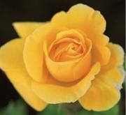 ROSAL SOLIDOR ® - Meifarent