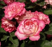 ROSAL IRIS ® - Feluci