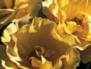 Rosales para Macizos de Porte Medio y Flor Simple