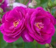 ROSAL BLUEBELL ® - Meimindefer