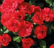 ROSAL FLAMENCA ® - Fepalm
