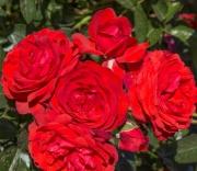 ROSAL SCARLET BONICA ® - Meiscarlebo