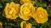 ROSAL GOLD BONICA ® - Meianycid