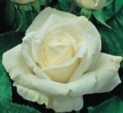 ROSAL QUEEN ELIZABETH WHITE