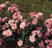 ROSAL BELLE SYMPHONIE ® - Meirivoui