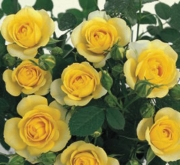 ROSAL GOLD SYMPHONIE ® - Meiskaille