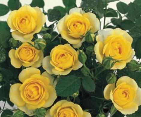 ROSAL GOLD SYMPHONIE ® - Meiskaille