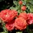 ROSAL ORANGE SYMPHONIE ® - Meinirut