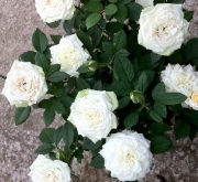 ROSAL SNOW MEILLANDINA ® - Meigovin