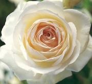 ROSAL PALAIS ROYAL ® - Meiviowit (Trepador)