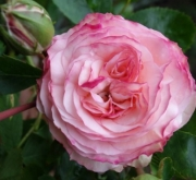ROSAL MINI EDEN ROSE ® - Meibigboni (Trepador)