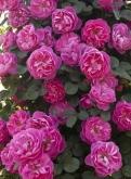 ROSAL ALLEGRO ® 2010 - Meileodevin (Trepador)