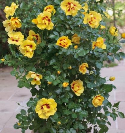 ROSAL EYECONIC ® - Meipouzmoi (Trepador)