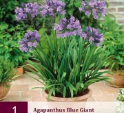 AGAPANTHUS BLUE GIANT