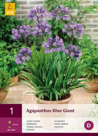 AGAPANTHUS BLUE GIANT