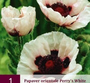 AMAPOLA PERRY'S WHITE