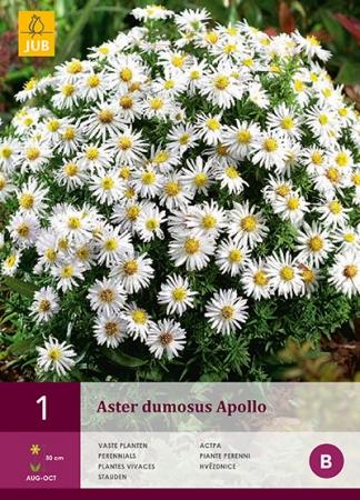 ASTER DUMOSUS APOLLO