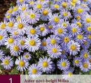 ASTER NOVI-BELGII MILKA