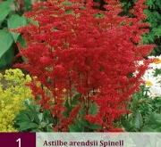 ASTILBE ARENDSII SPINELL