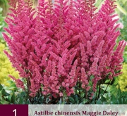 ASTILBE CHINENSIS MAGGIE DALEY