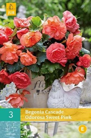 BEGONIA CASCADE ODOROSA SWEET PINK