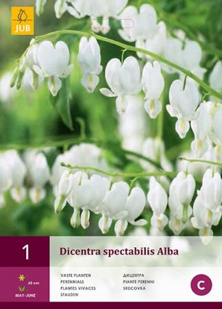 DICENTRA  SPECTABILIS ALBA