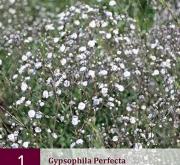 GYPSOPHILA PERFECTA