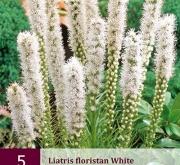 LIATRIS FLORISTAN WHITE