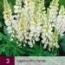 LUPINUS WHITE