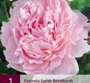 PEONIA SARAH BERNHARDT