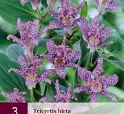 TRICYRTIS HIRTA