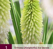 TRITOMA (KNIPHOFIA) ICE QUEEN