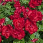 ROSAL LA SEVILLANA ® - Meigekanu (60 unid.).