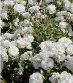 ROSAL WHITE MEIDILAND ® - Meicoublan (60 unid.).