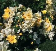 ROSAL BET FIGUERAS ® - Meijecycka (60 unid.).