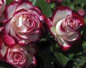 ROSAL JUBILÉ DU PRINCE DE MONACO ® - Meisponge (60...