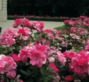 ROSAL PINK KNOCK OUT ® - Meigadraz (60 unid.).