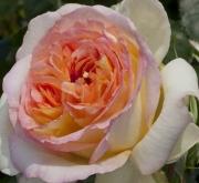 ROSAL ALPHONSE DAUDET ® - Meirouve
