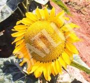 GIRASOL GRASOLI Alto Oleico (150.000 Semillas)