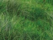 Semillas de Kleingrass Panicum Coloratum